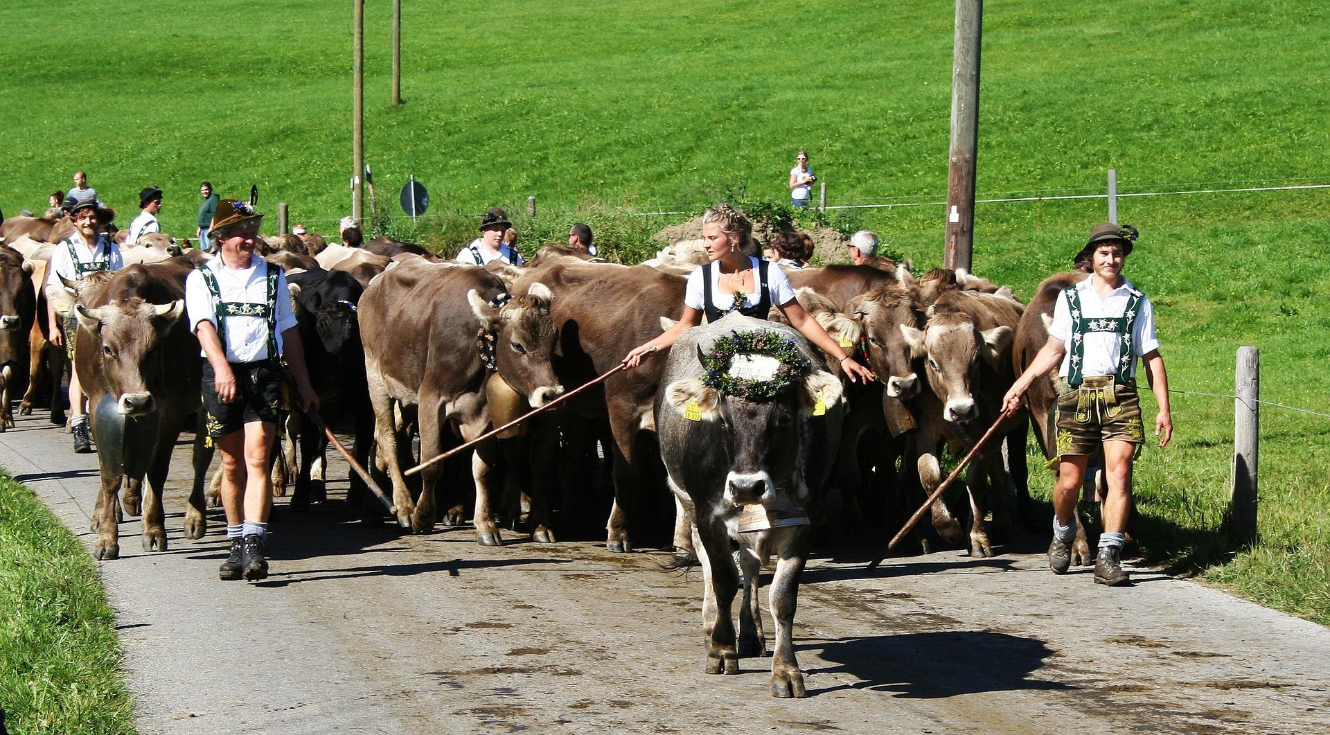 Herde Kühe Allgäu